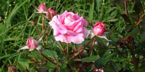 Cuidados de rosas