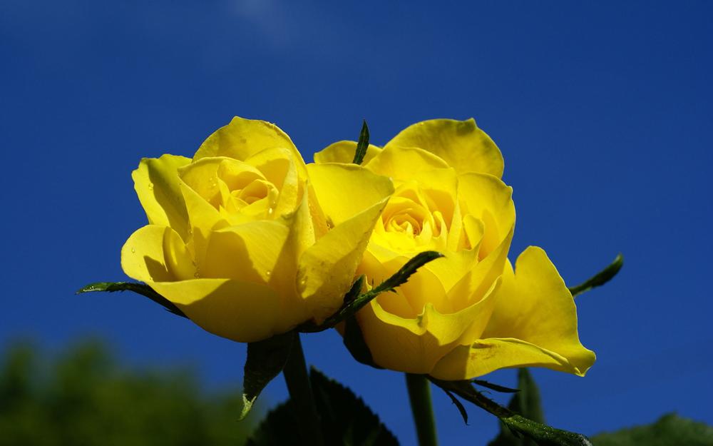 Fotos de rosas - Significado rosas amarillas ...