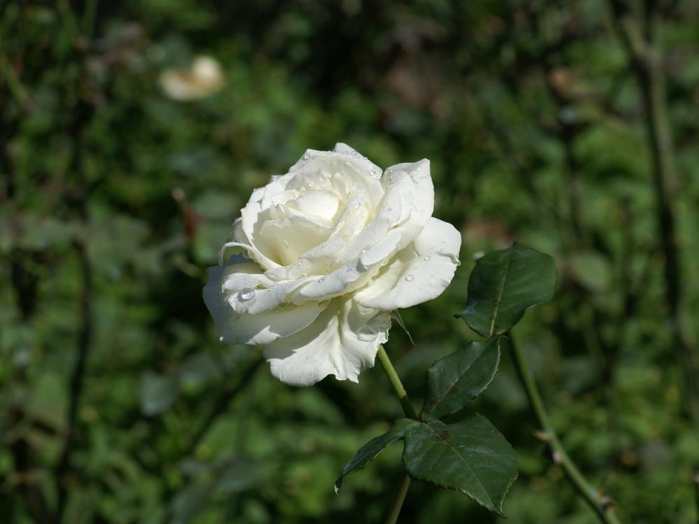 Mi vida y yo la rosa blanca - Significado rosas blancas ...