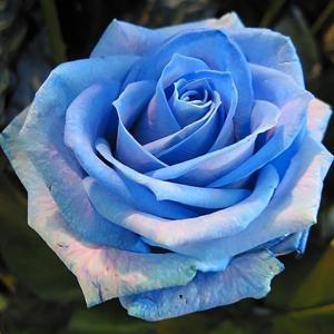Fotos de rosas azules