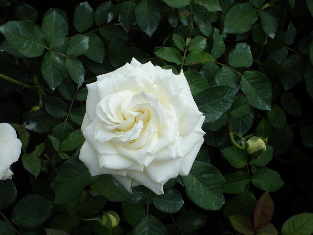 Rosas de varios colores ecuador nostalgia gabitos - Fotos de rosas de colores ...
