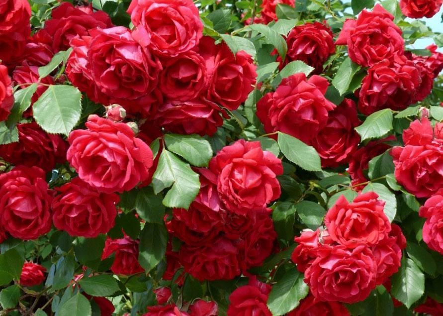Plantar rosales - Cuando se poda los rosales ...