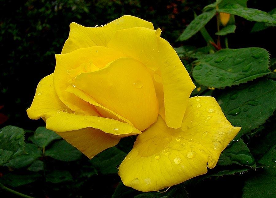 Las flores significado de las rosas - Significado rosas amarillas ...