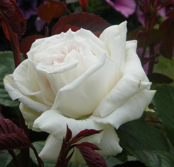 Significado de las rosas - Significado rosas blancas ...