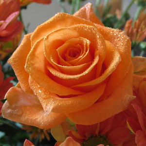 Fotos de rosas naranjas