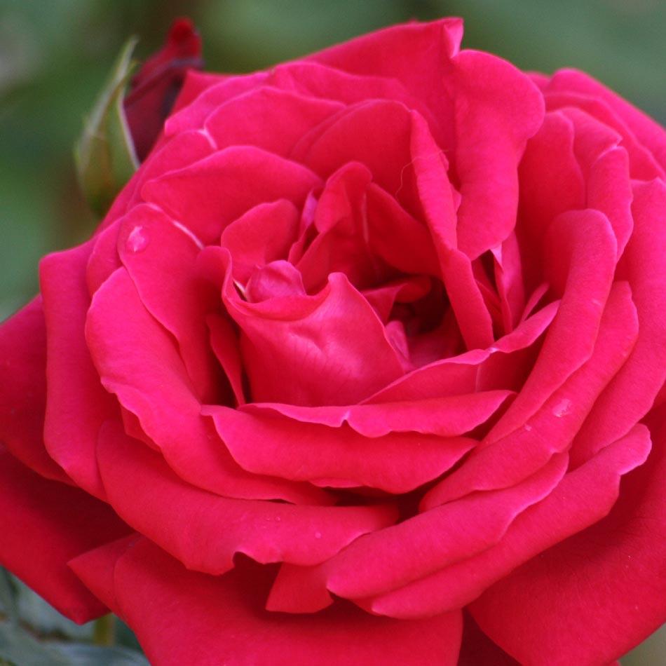 http://rosas.florpedia.com/images/rosas-rojas.jpg