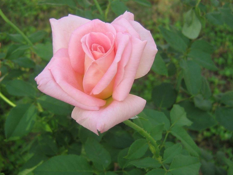 Significado de las rosas | Florpedia.com