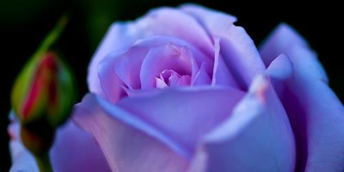 Rosas violetas