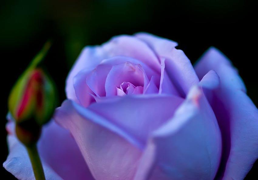 Resultado de imagen para simbolismo de las rosas