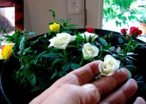 Cuidado de las rosas en miniatura