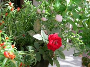 Rosal enano