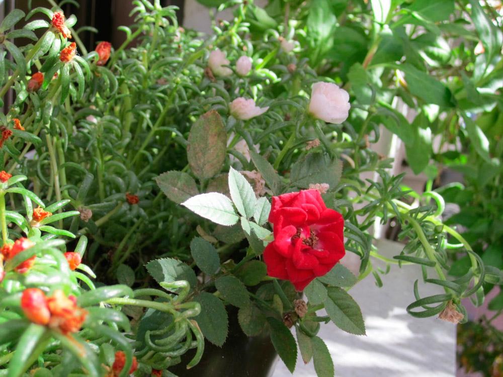 Cuidados de un rosal rosal de banksia amarillo with for Viveros el rosal