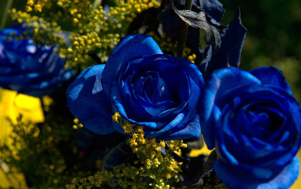 32ae836f1 Rosas azules (11)