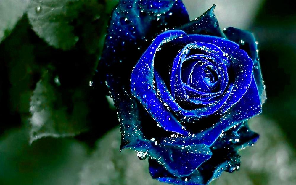 8f33f5a0a Rosas azules (2)