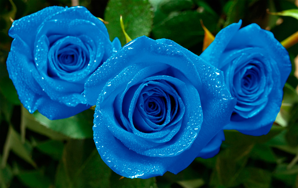 93016bcb1 Rosas azules (7)