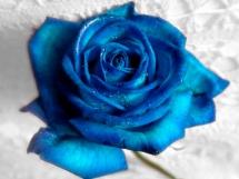 Rosas azules (1)