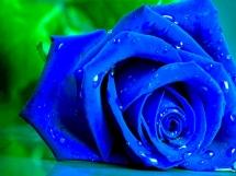 Rosas azules (10)