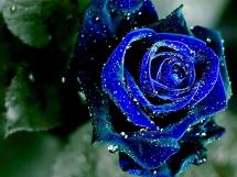 Rosas azules (2)