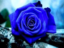 Rosas azules (4)
