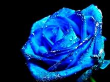 Rosas azules (5)