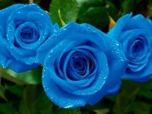 Rosas azules (7)