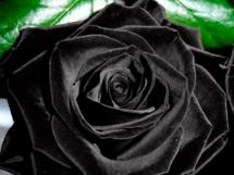 Rosas negras (1)