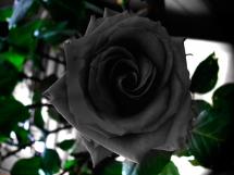 Rosas negras (2)