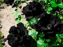 Rosas negras (4)