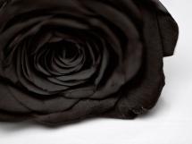 Rosas negras (5)