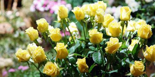 Cuidados de los rosales