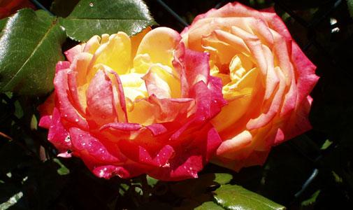 La rosa en la historia