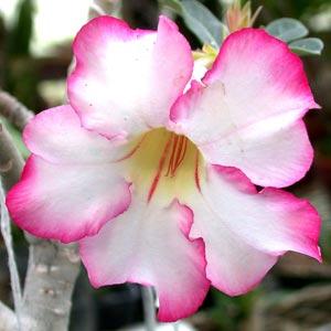 Rosa del desierto: Adenium