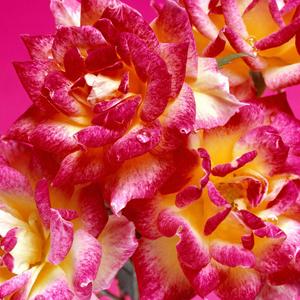Fotos de rosas rosadas