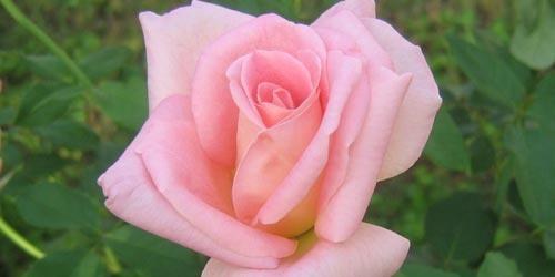 Rosas rosadas, rosas