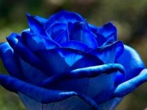 Rosas azules (6)